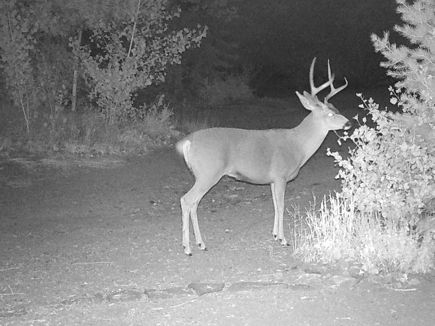 Photo of a buck