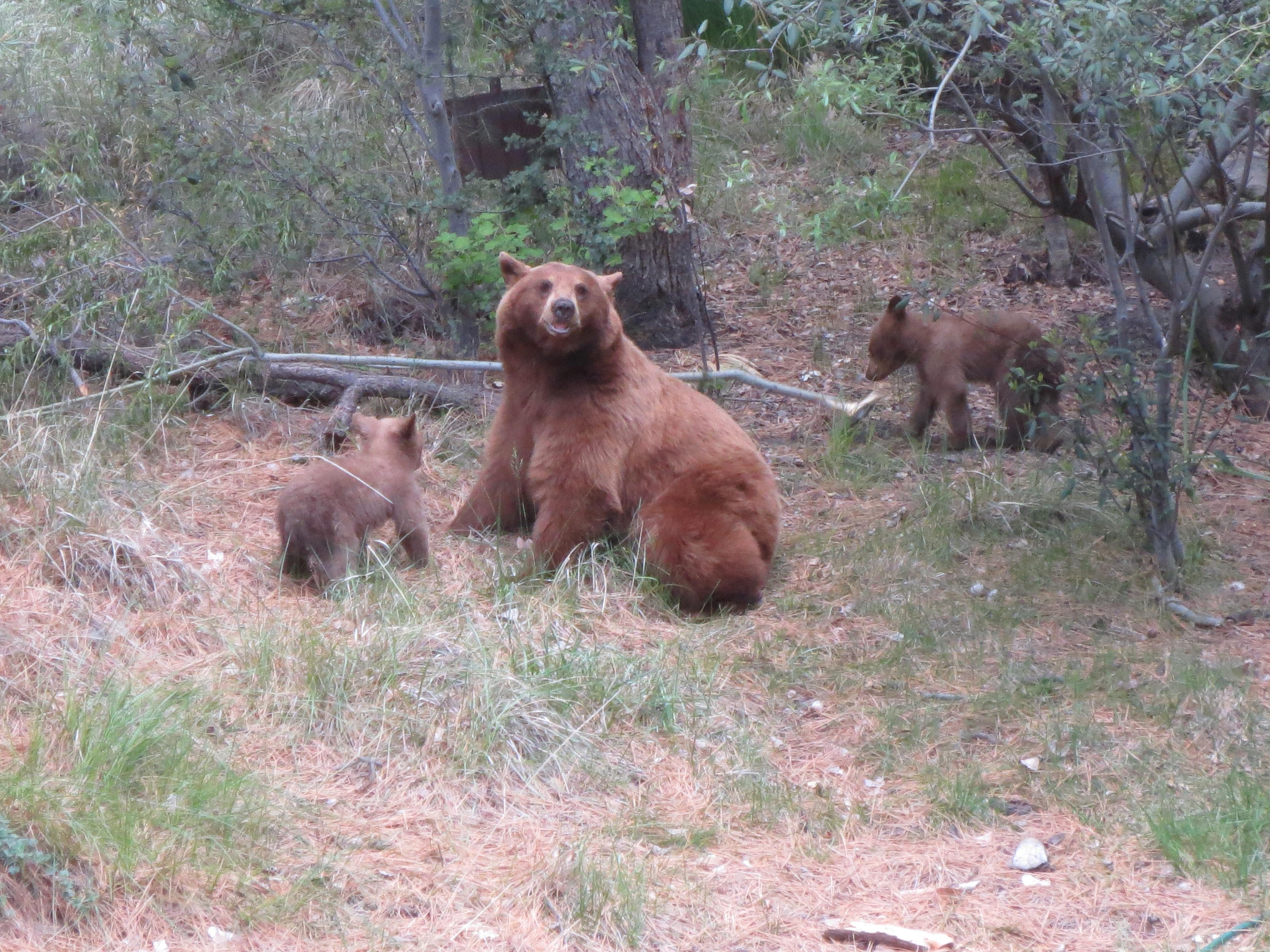 Photo of Mama Bear with Cubs
